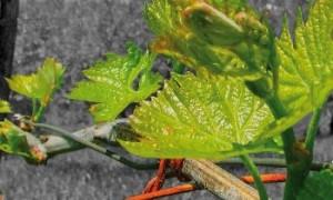 Rovello Bianco o meglio Greco Musc, antico vitigno dell'Irpinia