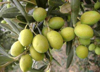 """"""" 'A Marrachiglia: un evento per valorizzare il legame tra produzioni olivicole e ristorazione di qualità"""