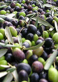 olive-di-