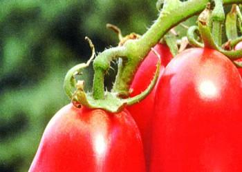 Pomodoro cinese, parola in radio all'agronomo Guerrera