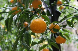 Visita e raccolta agrumi presso la Piscina Mirabilis a Bacoli
