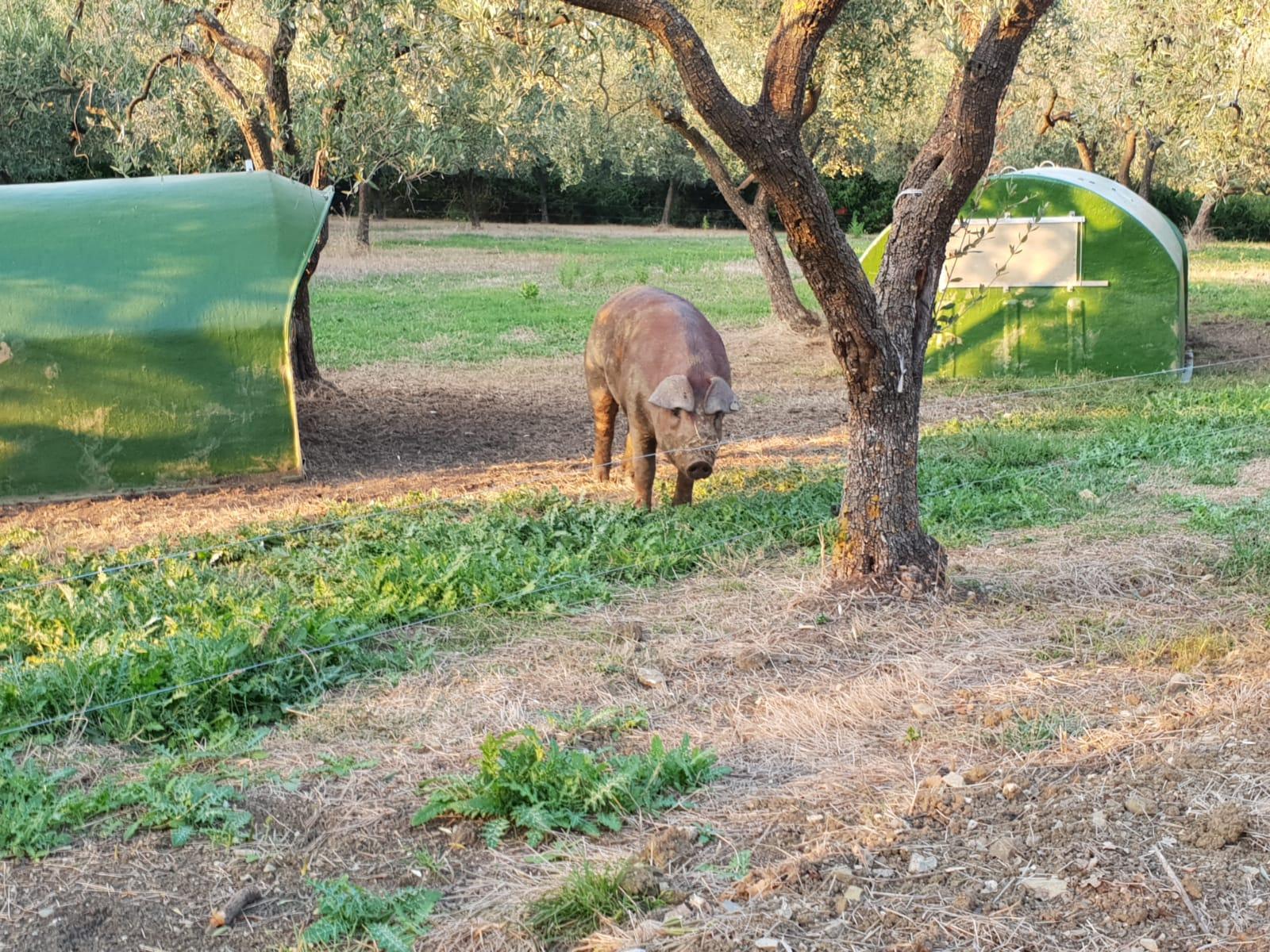 Ecco il maiale Rosso vesuviano allevato nel parco nazionale