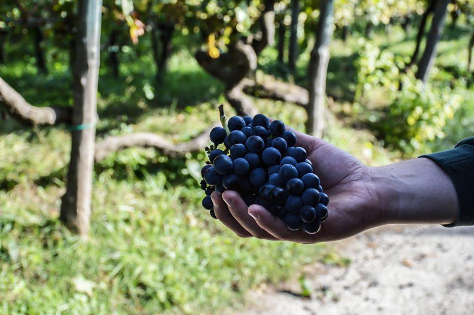 uva di sabato grappolo
