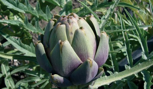 Il carciofo di Pietrelcina diventa Presidio Slow food