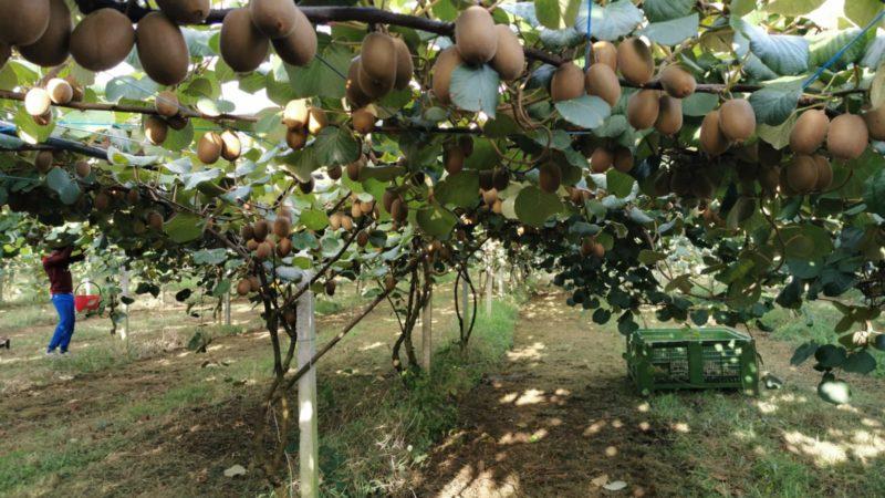 A Parete il Kiwi Giallo con Coop Sole e Apofruit