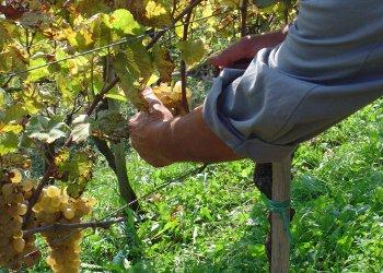 Dati definitivi Vendemmia, in Campania grande qualità e quantità stabili